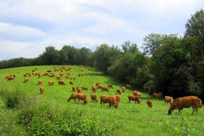 Limousin-koeien
