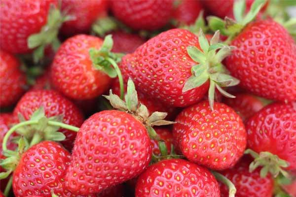 Quercy Erdbeeren