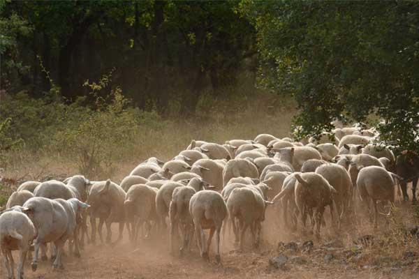 Schafe im Sommer